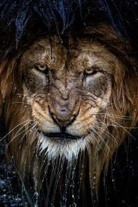 Photo of majestic lion by Eric Esterle